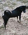 Chó đen (chó mực) ở Cát Sơn (8).jpg