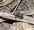 Chalky Percher Diplacodes trivialis - Flickr - gailhampshire.jpg