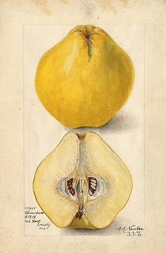 Amanda Newton (illustrator) - Champion quince (Cydonia oblonga); watercolor by Amanda Newton, 1909.