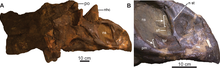 Brown skull of a horned dinosaur missing its neck-frill