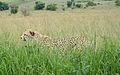 Cheetah (4300112209).jpg