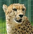 Cheetah (5710188555).jpg