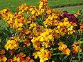 Cheiranthus cheiri L orange bedder dsc00963.jpg