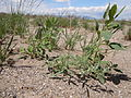 Chenopodium leptophyllum.jpg