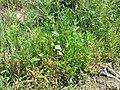 Chenopodium rubrum (s. str.) sl39.jpg