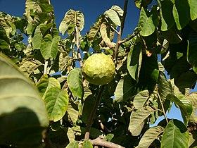 Cherimoya tree hg.jpg