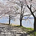 Cherry blossom @ Kawaguchiko lake (Music Forest) 19 April 2016 - panoramio.jpg