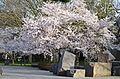 Cherry trees in FDR Memorial - 2013-04-09 (8634984181).jpg
