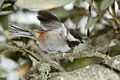 Chestnut-backed Chickadee spreaded wings.jpg