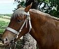 Chevaux de trait, exposition à Mirabel en Ardèche 08.jpg