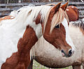 Chincoteague pony stallion by Bonnie Gruenberg6.jpg