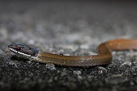 Chinese Mountain Snake (Sibynophis chinensis) 黑頭劍蛇2.jpg