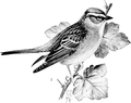 Chipping Sparrow-Birdcraft-0236-30.png