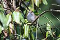 Chipping Sparrow (13813491013).jpg