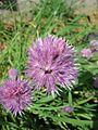 Chives flowers (2748760457).jpg