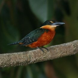 Chloroceryle inda -Madidi National Park -Bolivia-8a-4c
