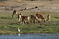 Chobe National Park - panoramio - Frans-Banja Mulder (1).jpg