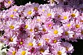 Chrysanthemum Courtney 8zz.jpg