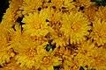 Chrysanthemum Diana 1zz.jpg