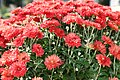 Chrysanthemum Tabitha 4zz.jpg