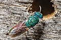 Chrysis sp.-pjt.jpg