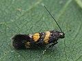 Chrysoesthia sexguttella (40193372974).jpg