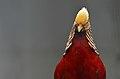 Chrysolophus pictus (male), Lahore Zoo - 06.jpg