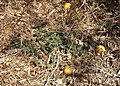 Citrullus lanatus plant.jpg