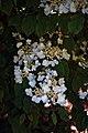 City of London Cemetery flowering shrub 9.jpg