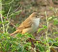 Clamorous reed warbler Odisha India.jpg