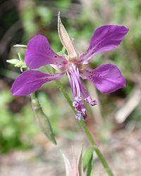 Clarkiarhomboidea