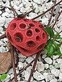 Clathrus Ruber Phallaceae Mushroom Yucatan 2019.jpg