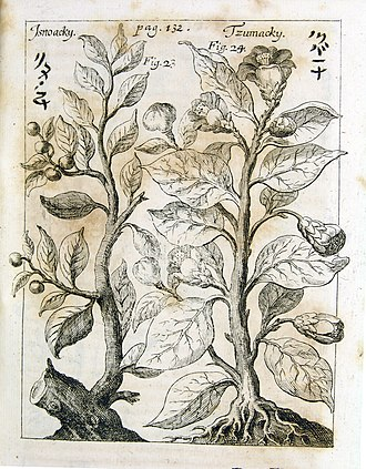 Andreas Cleyer - Cleyer's observations on Camellia (tsubaki) and Distylium racemosum (isunoki) published in the Miscellanea Curiosa, Decuria II, Annus VII