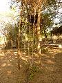 Climber Plant Weaving-2 (5163323063).jpg