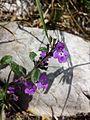 Clinopodium alpinum subsp. alpinum sl3.jpg