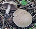 Clitocybe martiorum.jpg