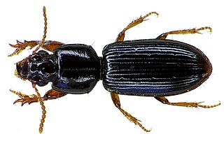 <i>Clivina</i> genus of insects