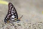 Close wing mud-puddling of Graphium chironides Honrath, 1884 – Veined Jay (Male) Butterflies Of Yazali - 8.jpg