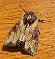 Clouded-bordered Brindle. Apamea crenata - Flickr - gailhampshire (2).jpg