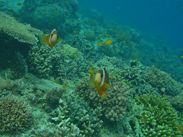 Clownfisken är en viktig organism i korallrevets ekosystem.