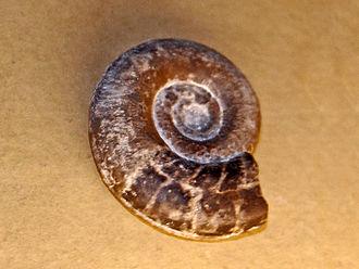 Clymenia laevigata - Fossil shell of Clymenia laevigata, on display at Galerie de paléontologie et d'anatomie comparée, Paris