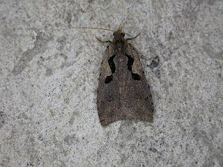 Cnephasiini Tribe of moths