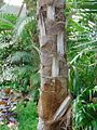 Coccothrinax argentata, Phipps Conservatory, Pittsburgh.jpg