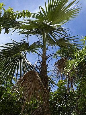 Coccothrinax argentea - Image: Coccothrinax argentea