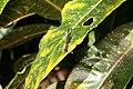 Codiaeum variegatum 55zz.jpg