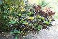 Codiaeum variegatum var. pictum Norma 3zz.jpg