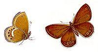Coenonympha hero - Wald-Wiesenvögelchen.jpg