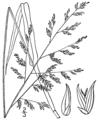 Coleataenia anceps ssp anceps (as Panicum anceps) BB-1913.png