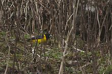 Collared Grosbeak Pangolakha Wildlife Sanctuary East Sikkim India 05.05.2016.jpg