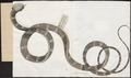 Coluber bucephalus - 1734-1765 - Print - Iconographia Zoologica - Special Collections University of Amsterdam - UBA01 IZ12000023.tif